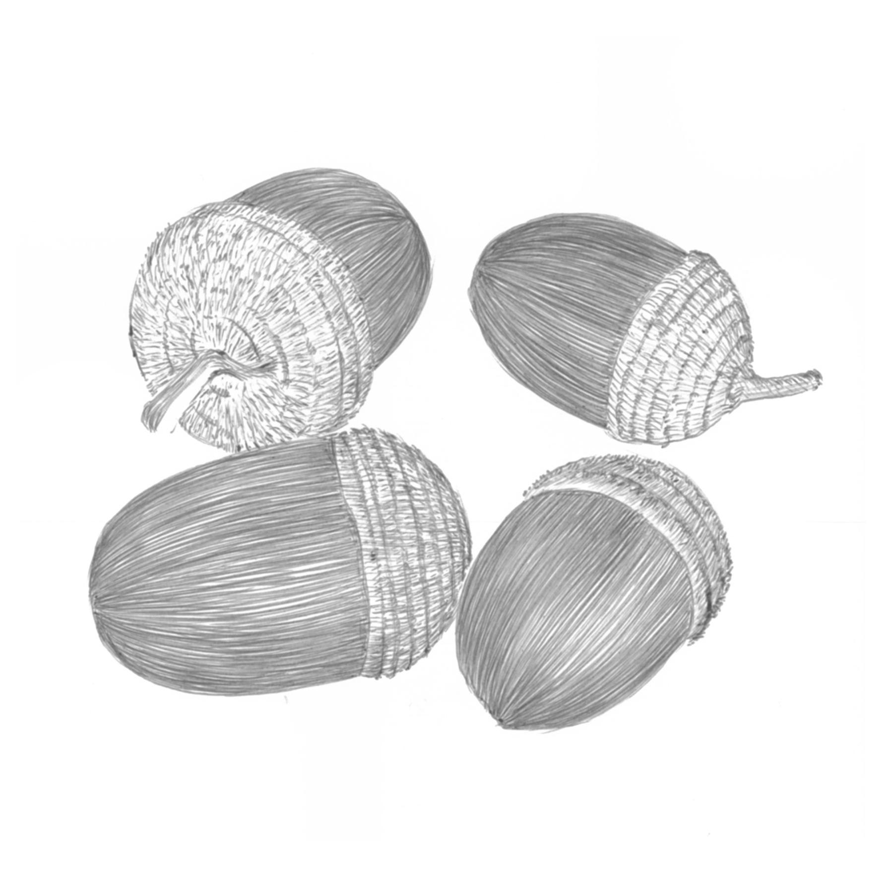 Quercus Sessilifolia