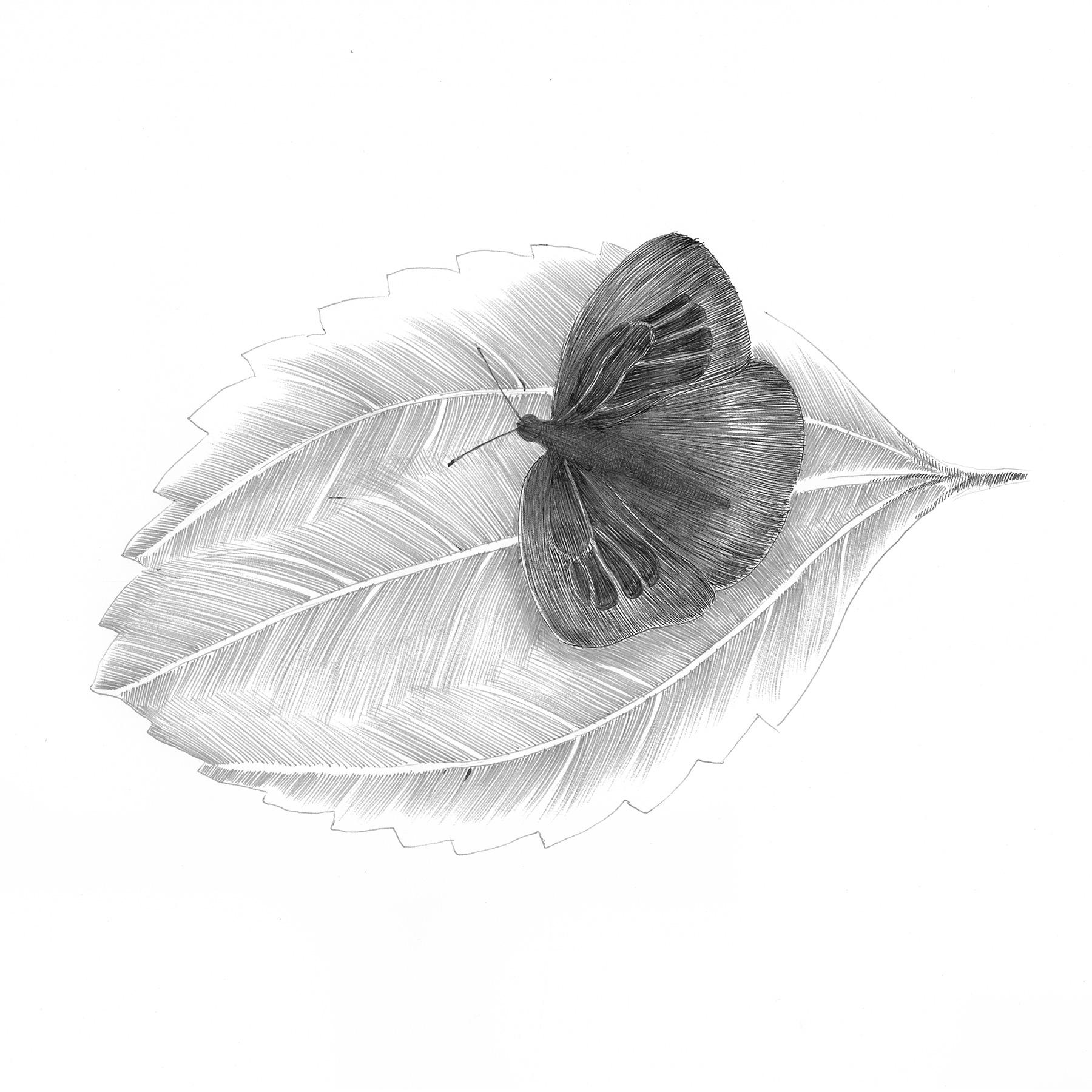 Japanese Oakblue Butterfly
