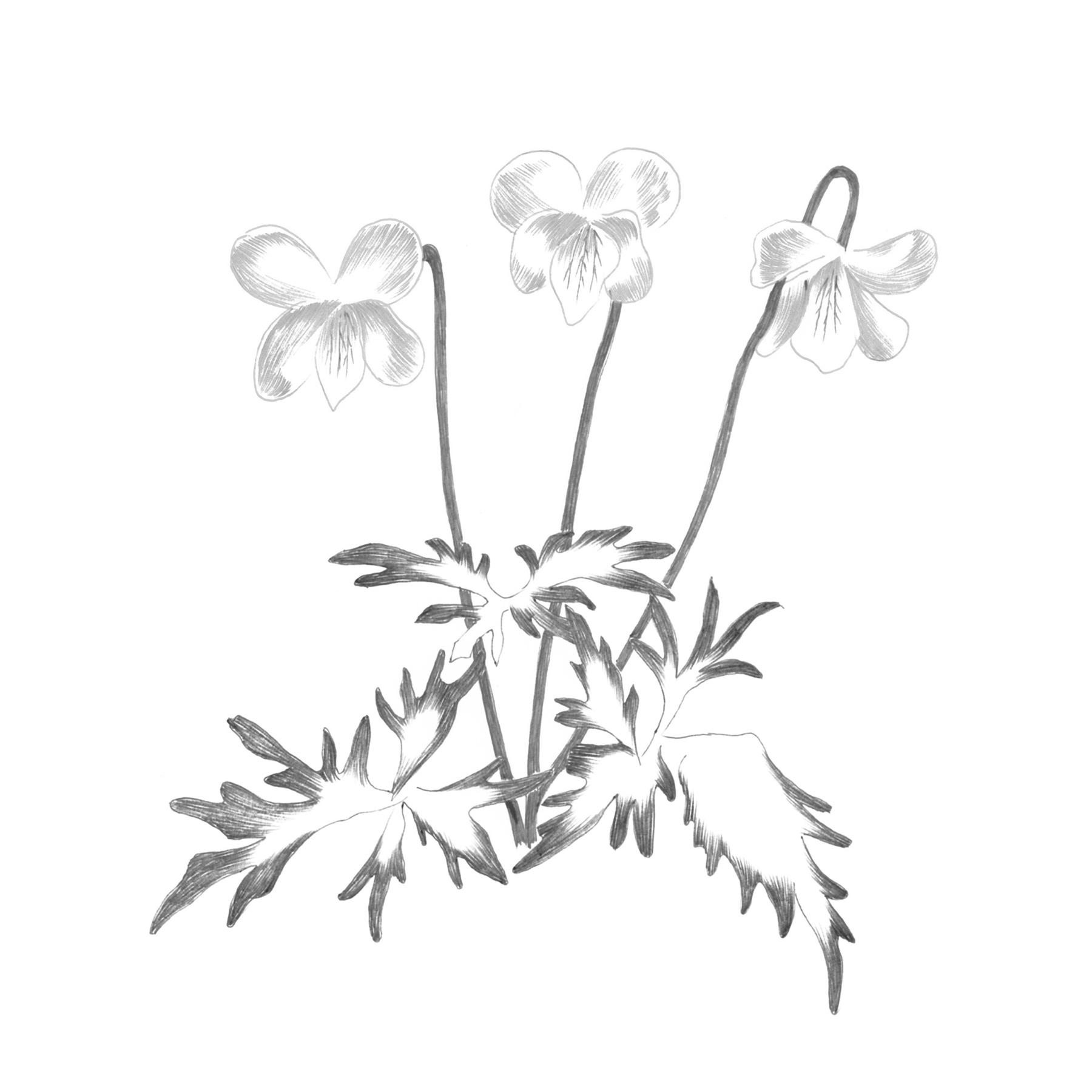 Viola Eizanensis