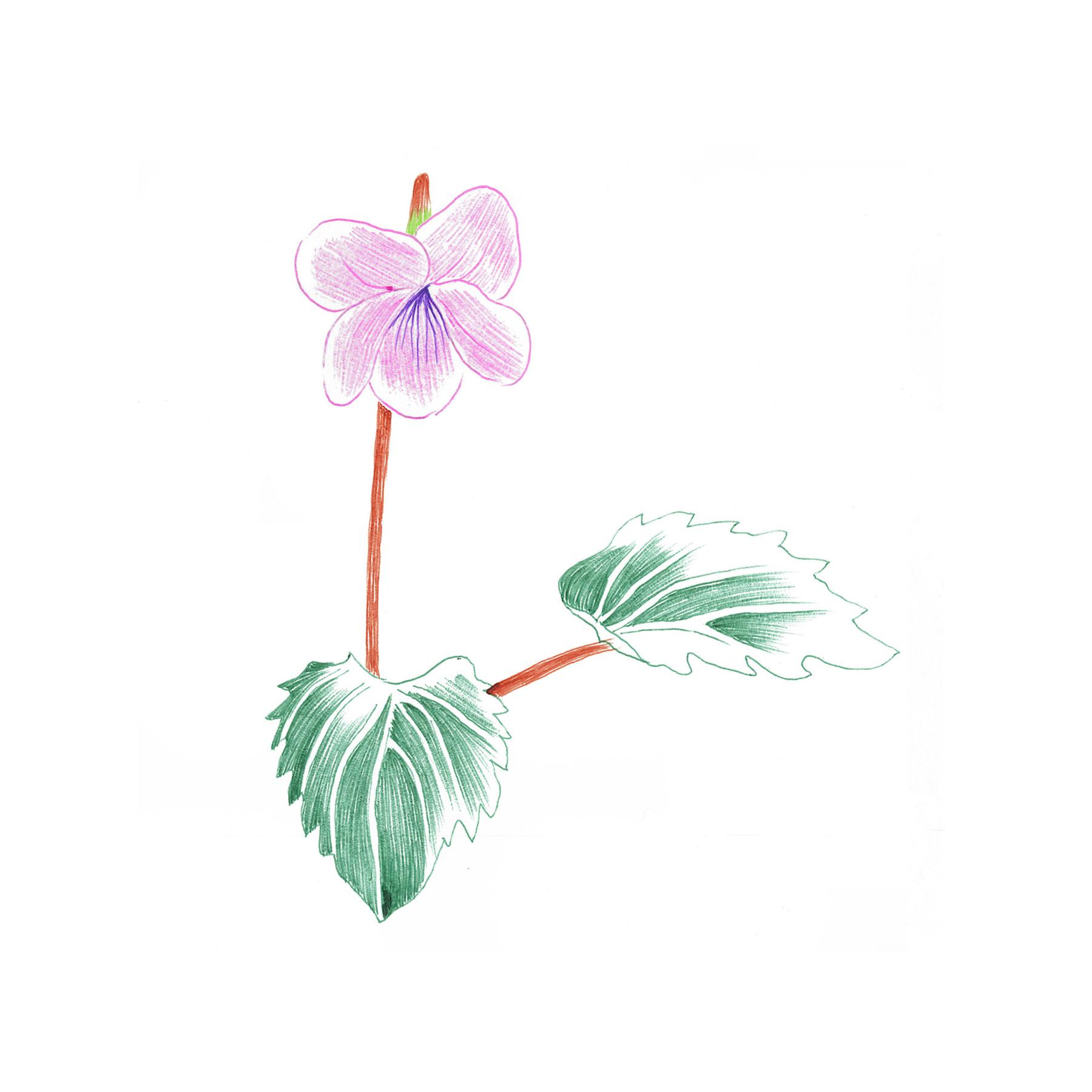 Viola Eizanensis Forma Simplicifolia