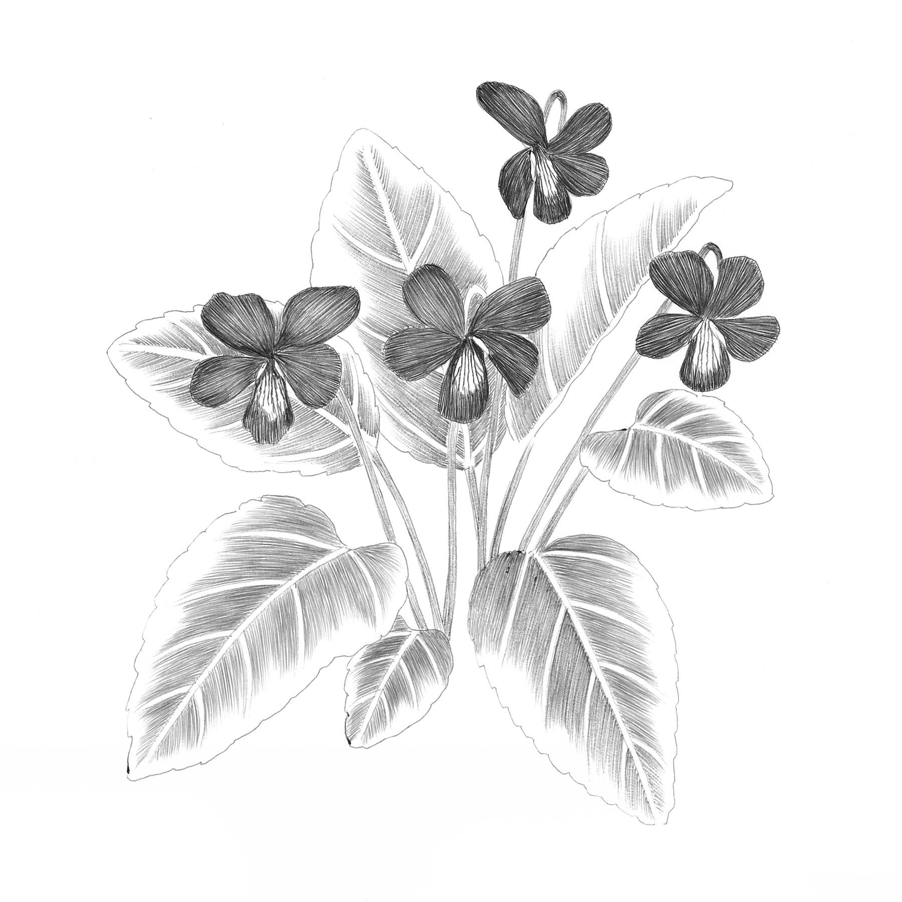 Viola Phalacrocarpa