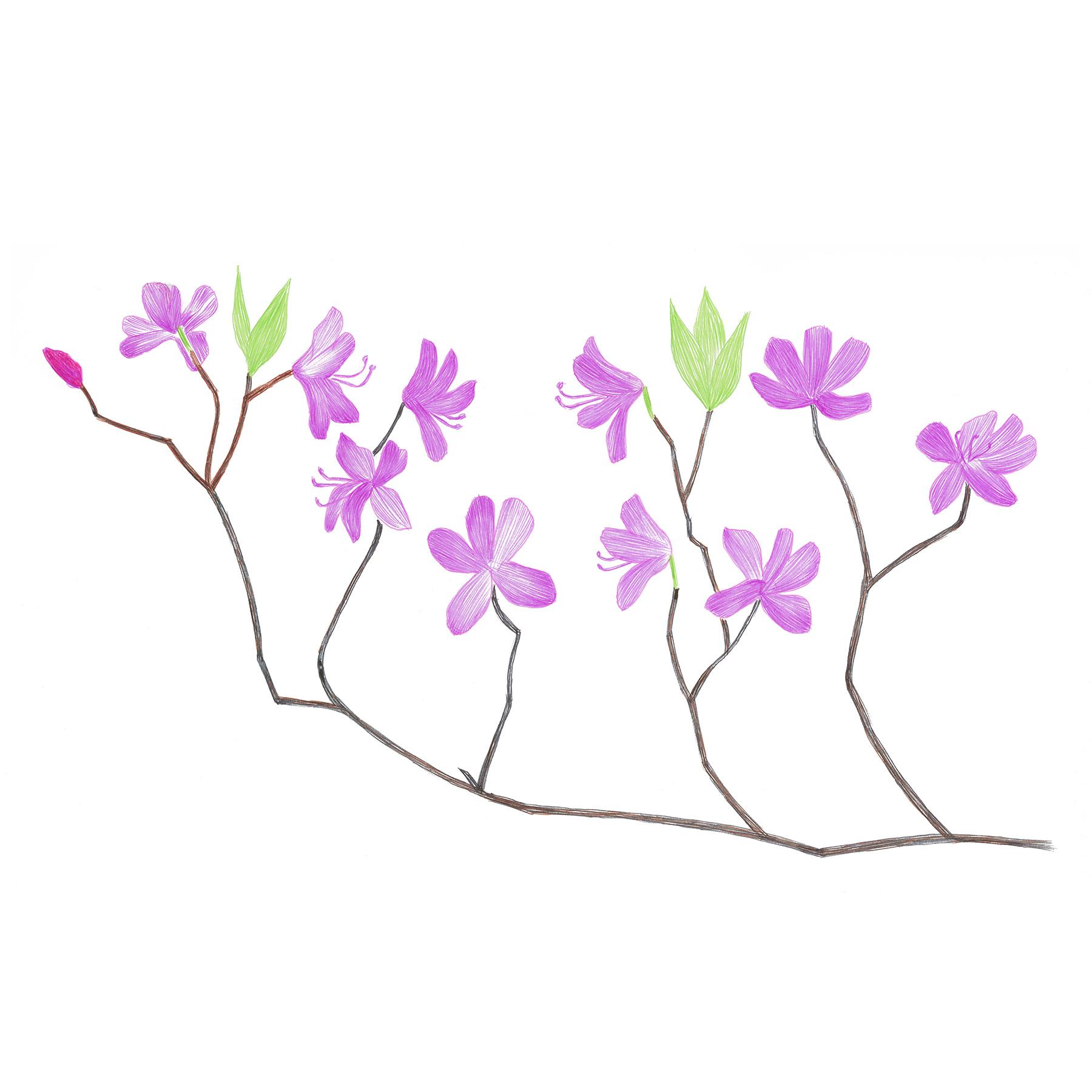Rhododendron Wadanum