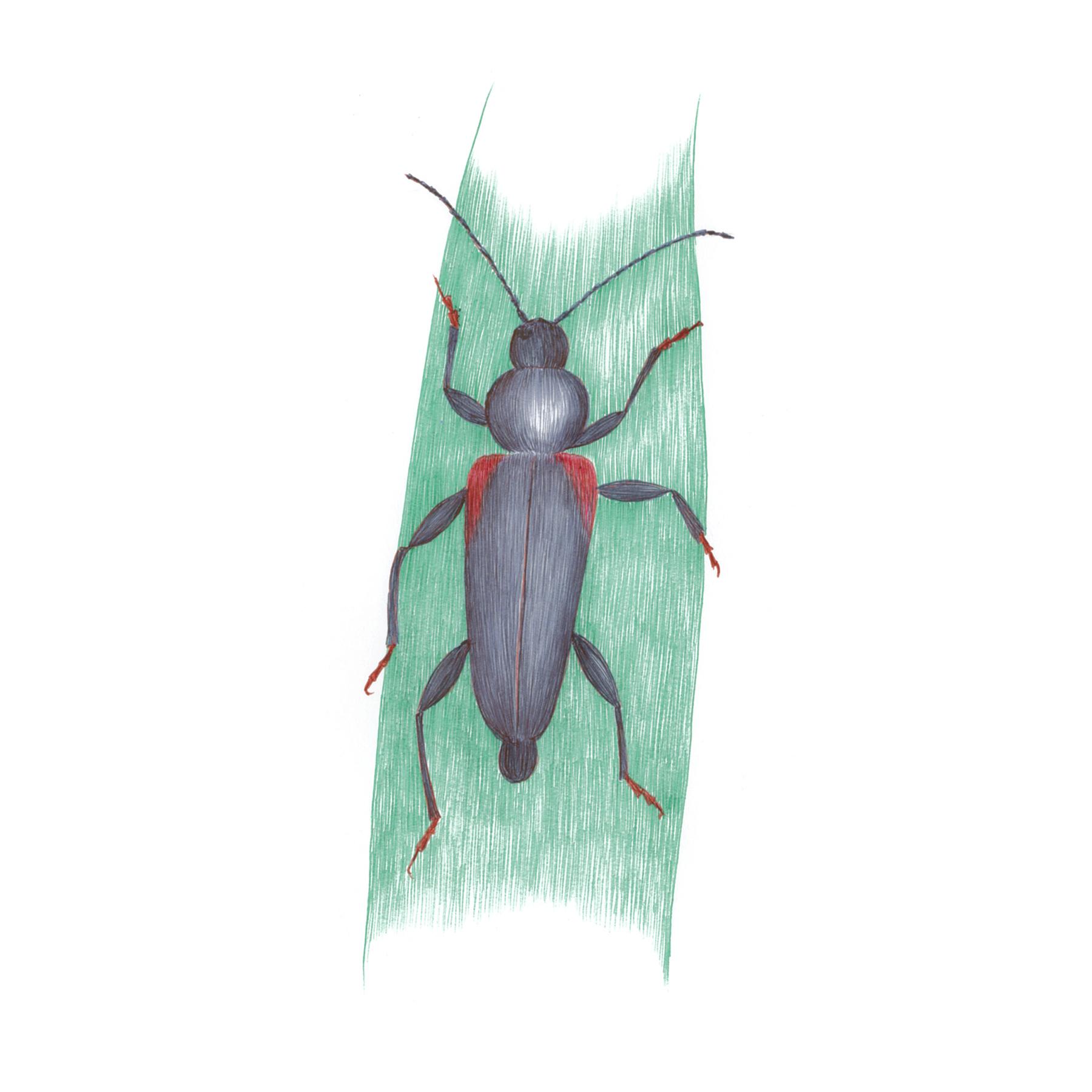Japanese Cedar Longhorn Beetle