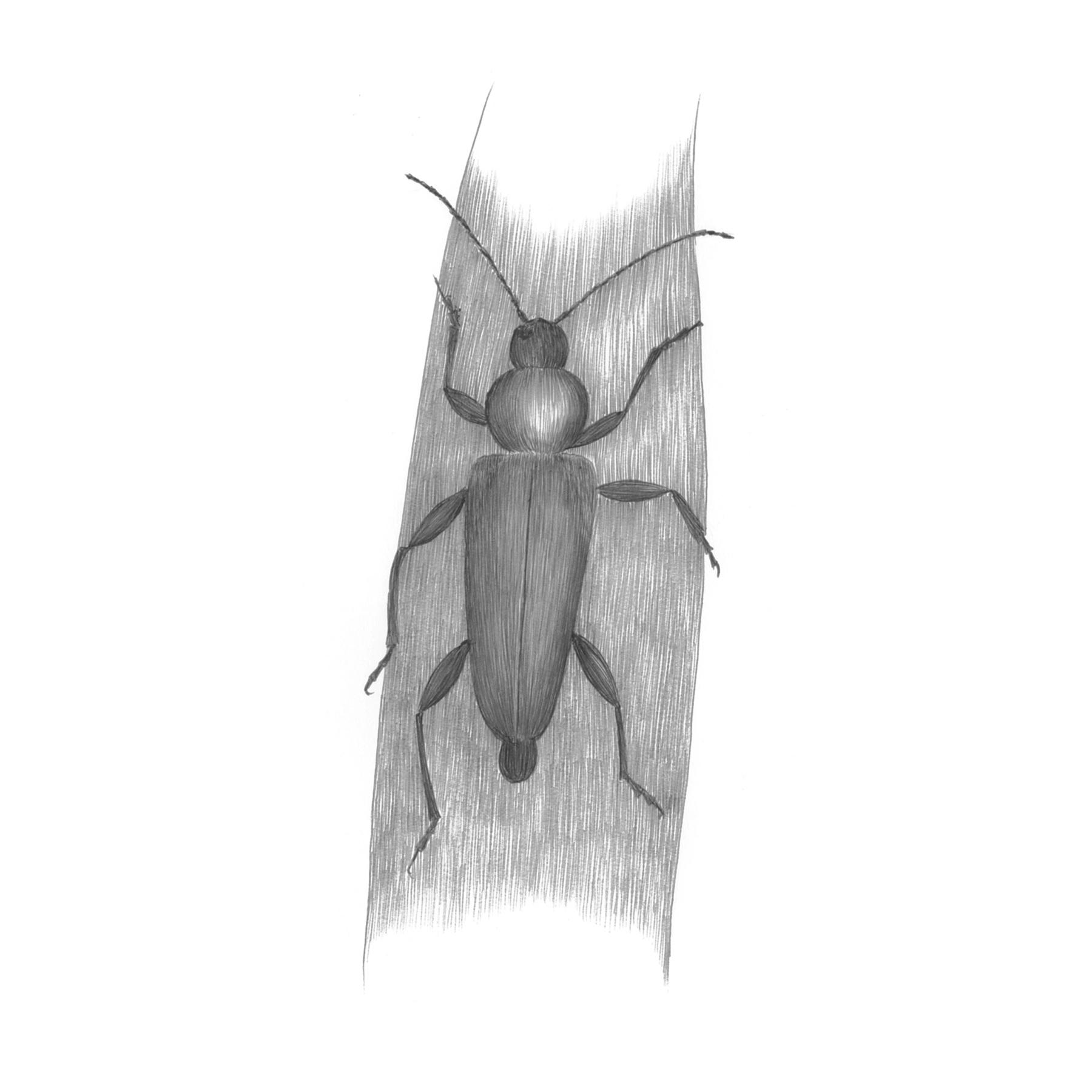 ヒメスギカミキリ